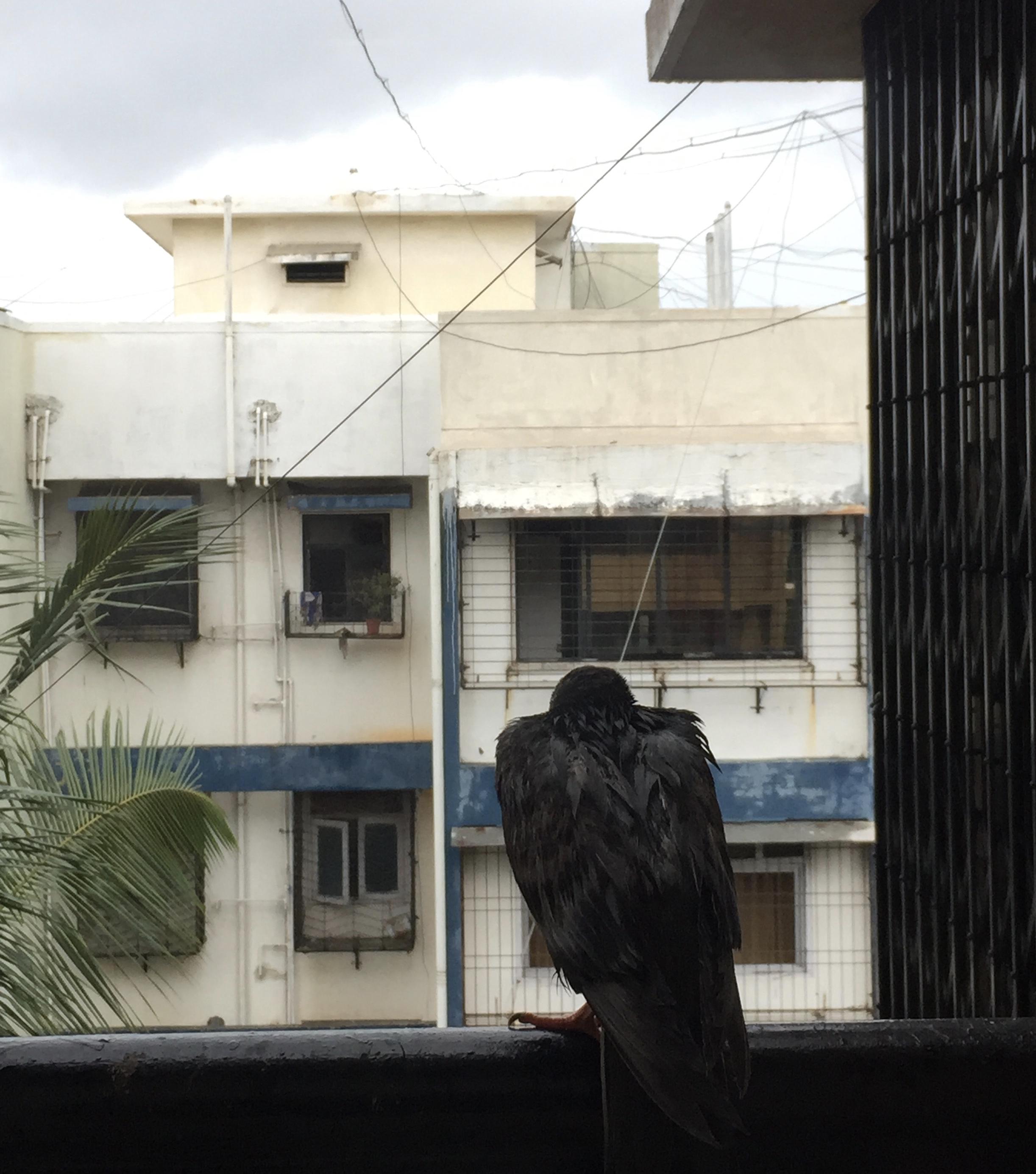 Monsoon dove